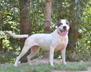 Upcoming Litter of American Bulldog Puppies   Sanders Kennels