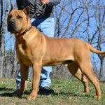 Noah Sanders, Presa Canario, Presa Canario Breeder, Presa Canario Puppy, Presa Canarios Puppies For Sale, Protection Dog Training, Sanders Kennels