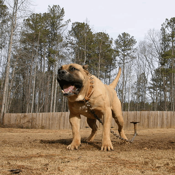 Presa Canario Puppies and Breeder | Sanders Kennels