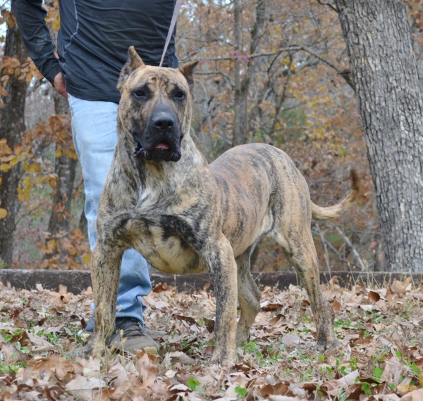 Noah Sanders, Presa Canario, Presa Canario Breeder, Presa Canario Puppy, Presa Canarios Puppies For Sale, Protection Dog Training, Sanders Kennels